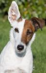 floppy-ear dog