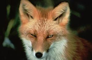fox winking