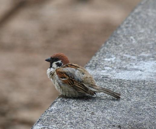 Sparrow alone.jpg