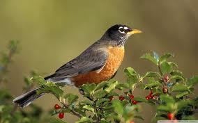 robin larger