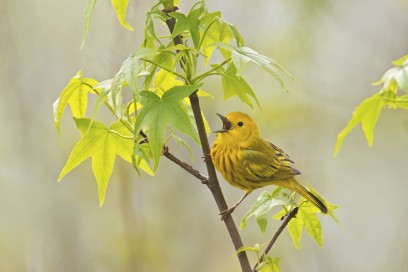 Yellow warbler fc option