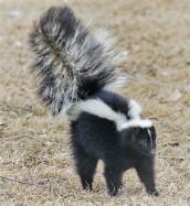 Skunk.2nd