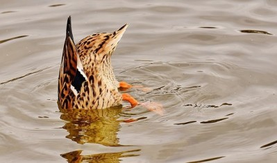 Duck down. Alexas Fotos