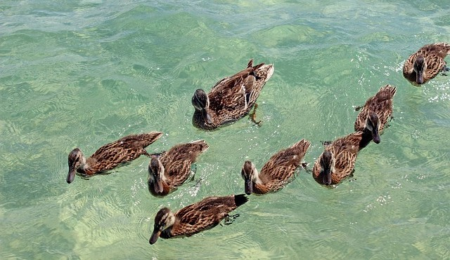 Ducks.Amy Spielmaker