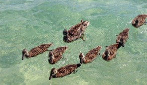 Ducks.Amy Spielmaker