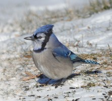 Blue Jay.cropped