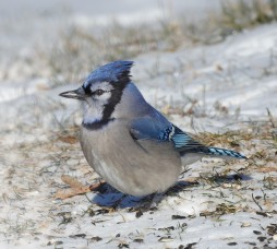 Blue Jay.cropped.jpg