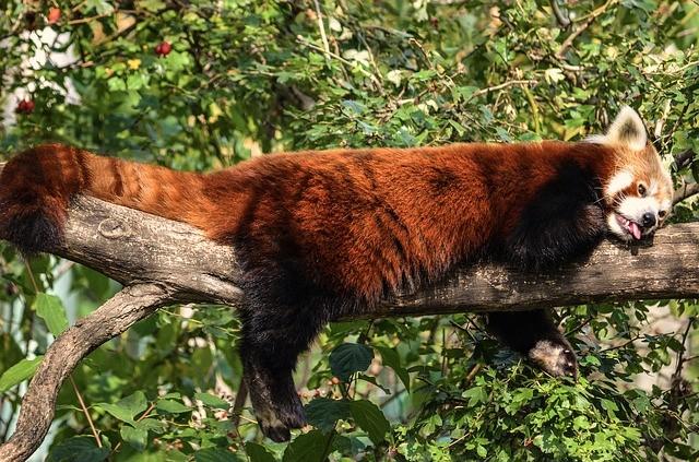Panda.Andrea Bohl