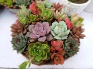 Succulents.katerina zhang
