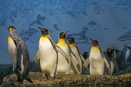 king-penguin-1703294_640