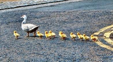 Ducks.IanWilson