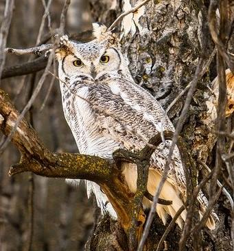 Great horned owl.Pexels