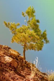 Pine.analogicus