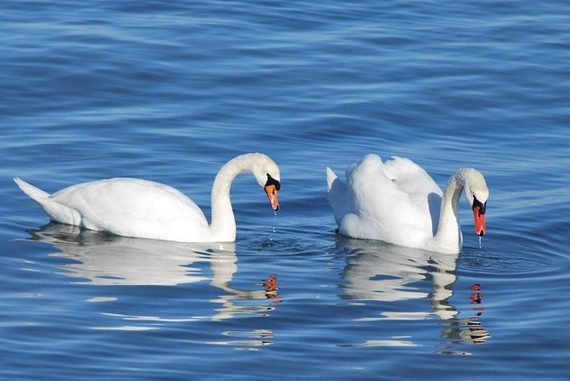 Swans my webst