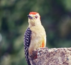 Woodpecker.Carolina Guzman