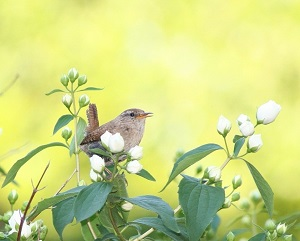 Wren in shrub cropped